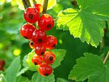 redcurrant bunch