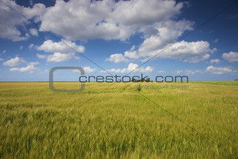 a field of green and yellow grain in summer with a blue sky and white clouds