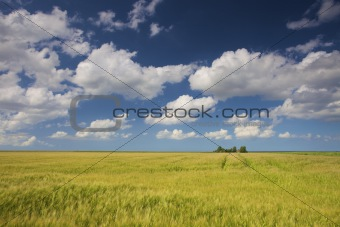 a green field of grain in summer with a blue sky and white clouds