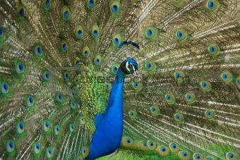 beautiful male peacock with its colorful tail feathers spread