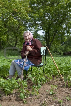 old peasant woman with a cane working in potato field