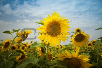 sunflowers under a blue sky