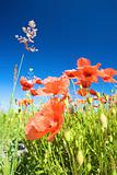 a field of red poppies in bright sunlight