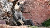 Hyena in bioparc in Valencia, Spain