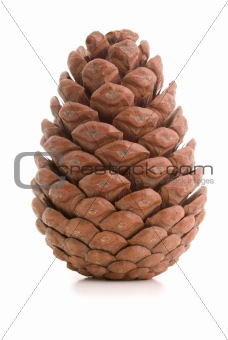 Great fir cone.