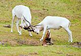 Screwhorn Antilopes