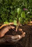 African American Gardener Planting new Plant