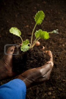 African American Farmer with New Plant