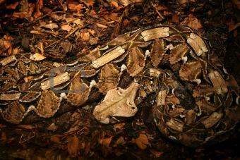 Camouflaged Python