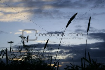 Wild Grass at Dusk