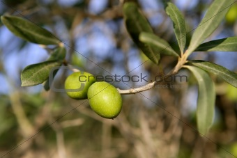 branch details with olives growing