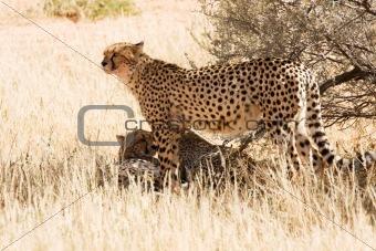 Cheetahs in the Kgalagadi, South Africa