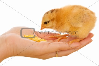 Little chick eating from hand