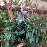 Koala bear in the leaves