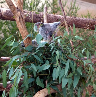 Koala bear in the leaves