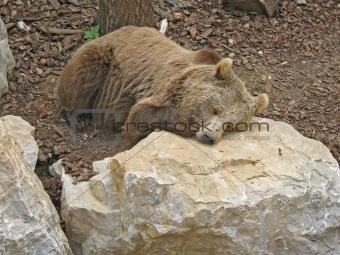 Animal park - Brown bear
