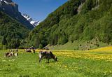 Swiss cows in the Countryside