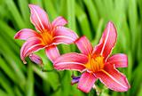 Two Lily flower