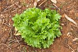 Lettace plant