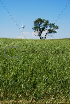 Green wheat plants