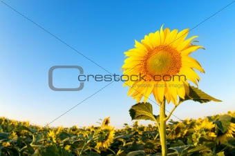 Beautiful sunflowers farm on the sunny summer day