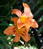 hemerocallis lily flower