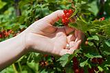 Woman's hand pick a bunch of redcurrant