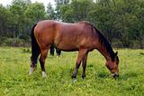 The brown horse on the field