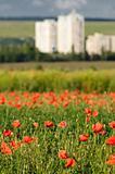 wild poppy field