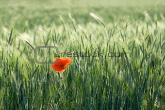 Single red poppy among cereals