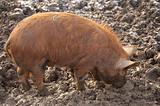 Tamworth pig foraging for food