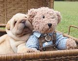 Sharpei puppy with teddybear
