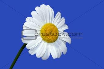 A Summer Daisy