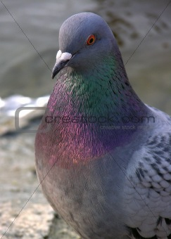 one pigeon