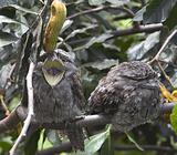 Yawning Frogmouth Owl