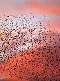 Starlings about to roost
