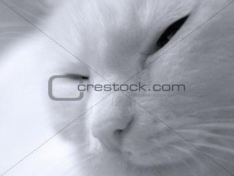 cat albino