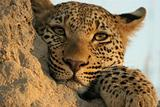 leopard stare