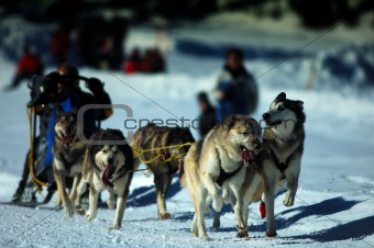 Musher Race