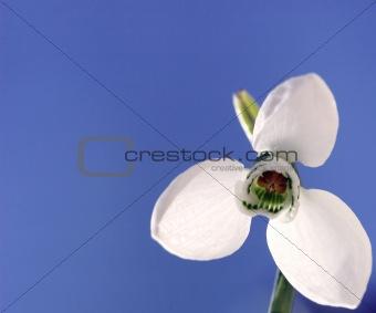 first snowdrop flower