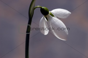 beautiful snowdrop