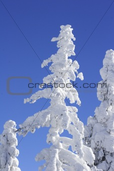 snow covered top of a pine tree