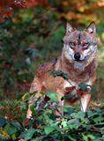 Wolf check man
