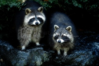 2 Raccoons