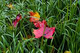 Red leafs in wet hay