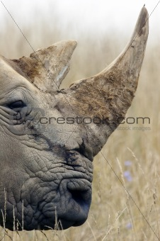 Adult Rhino Profile