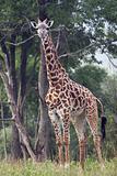 Full length shot of entire Giraffe