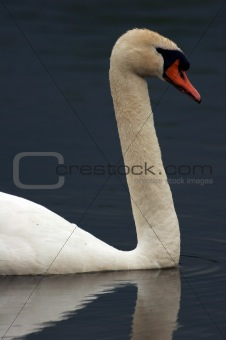 Adult Swan Headshot Floating On Pond
