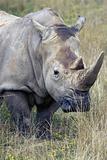 Giant Rhino