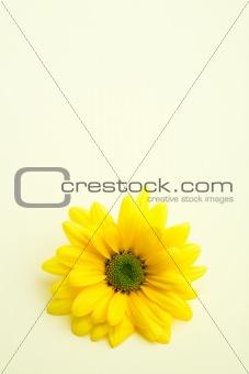 daisy on subtle yellow